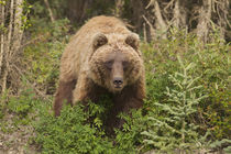 Arctic Grizzly Bear von Danita Delimont