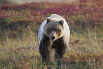 Grizzly bear on fall tundra von Danita Delimont