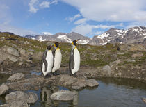 A group of penguins standing together on banks of Nigu River. by Danita Delimont