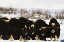 USA, Alaska, Arctic National Wildlife Refuge, Musk ox bulls ... by Danita Delimont