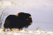 USA, Alaska, Alaska North Slope, Arctic National Wildlife Re... von Danita Delimont