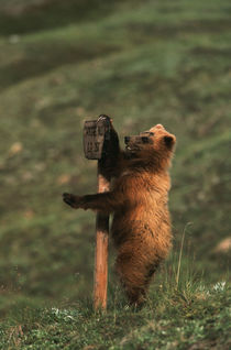 USA, Alaska, Denali National Park And Preserve, Grizzly bear... von Danita Delimont