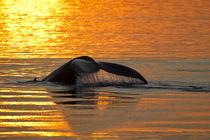 North America, USA, Alaska, in Frederick Sound, Humpback Wha... von Danita Delimont