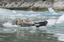 Four Harbor seals on iceberg von Danita Delimont