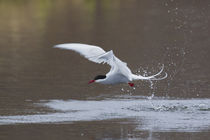 Arctic Tern Fishing by Danita Delimont