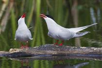 Arctic Tern Pair by Danita Delimont
