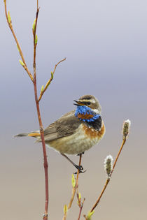 Bluethroat Singing by Danita Delimont