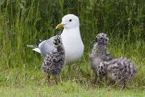 Mew Gull with chicks von Danita Delimont