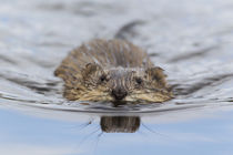 Muskrat Swimming by Danita Delimont