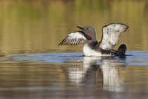 Red-throated Loon by Danita Delimont
