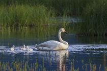 Trumpeter Swan with Cygnets by Danita Delimont