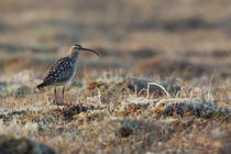 Bristled-thighed Curlew by Danita Delimont