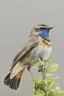 Bluethroat by Danita Delimont