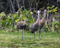 Sandhill Cranes feeding behind Wasabi Restaurant, Homer, Alaska, USA von Danita Delimont
