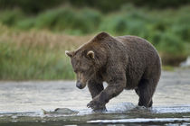 Brown Bear and Salmon, Katmai National Park, Alaska by Danita Delimont