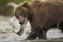 Brown Bear and Spawning Salmon, Katmai National Park, Alaska von Danita Delimont