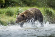 Brown Bear Chases Salmon, Katmai National Park, Alaska by Danita Delimont