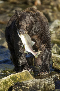Brown Bear and Pink Salmon, Katmai National Park, Alaska von Danita Delimont