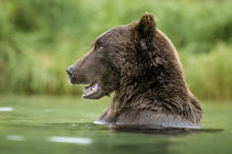 Brown Bear, Katmai National Park, Alaska by Danita Delimont