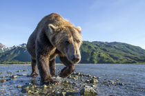 Brown Bear, Katmai National Park, Alaska von Danita Delimont