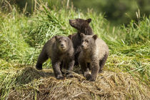 Brown Bear Cubs, Katmai National Park, Alaska by Danita Delimont