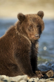 Brown Bear Cub, Katmai National Park, Alaska von Danita Delimont