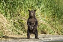 Brown Bear Spring Cub, Katmai National Park, Alaska von Danita Delimont