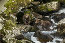 Brown Bear Spring Cubs, Katmai National Park, Alaska by Danita Delimont