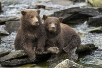Brown Bear Cubs, Katmai National Park, Alaska von Danita Delimont