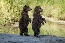 Brown Bear Spring Cubs, Katmai National Park, Alaska by Danita Delimont