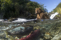 Brown Bear and Spawning Salmon, Katmai National Park, Alaska by Danita Delimont