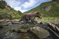 Brown Bear, Katmai National Park, Alaska by Danita Delimont