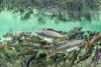 Spawning Salmon, Katmai National Park, Alaska by Danita Delimont