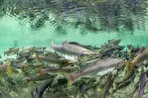 Spawning Salmon, Katmai National Park, Alaska von Danita Delimont