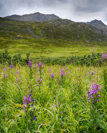 USA, Alaska, Hatchers Pass, fireweed in bloom. by Danita Delimont