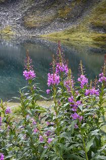 USA, Alaska, Hatchers Pass, Summit Lake fireweed. von Danita Delimont