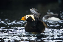 A Tufted Puffin shaking water off his wings after landing von Danita Delimont