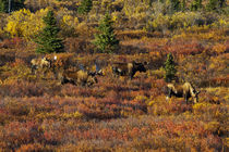Moose in Autumn Colored Tundra von Danita Delimont