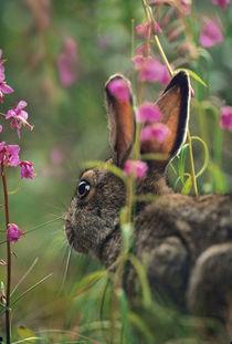 Snowshoe Hare, Alaska, USA von Danita Delimont