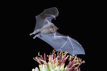 Tucson, Arizona, USA, Leafnosed fruit bat over agave blossom by Danita Delimont
