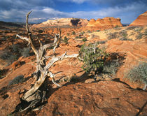 USA, Arizona, Paria Canyon, Coyote Buttes area, Twisted tree... by Danita Delimont
