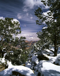 USA, Arizona, Grand Canyon National Park, Trees covered with snow von Danita Delimont