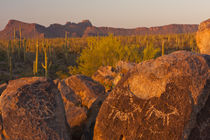 USA, Arizona, Pima County, Saguaro National Park, Sonoran Desert von Danita Delimont