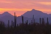 USA, Arizona, Saguaro National Park, Sonoran Desert by Danita Delimont