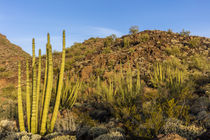 Organ Pipe National Monument by Danita Delimont