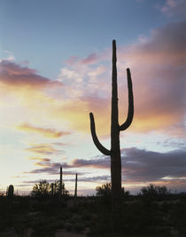 USA, Arizona, Organ Pipe Cactus National Monument, Saguaro C... von Danita Delimont