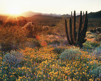 USA, Arizona, Organ Pipe Cactus National Monument, Californi... von Danita Delimont