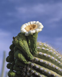 Saguaro cactus blossom at the tip of a long arm, Saguaro Nat... by Danita Delimont