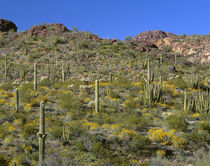 USA, Arizona, Organ Pipe Cactus National Monument, Brittlebu... von Danita Delimont