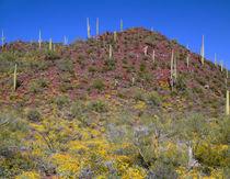 USA, Arizona, Saguaro National Park, Tucson Mountain Distric... von Danita Delimont